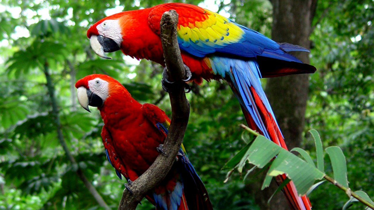 Costa Rica Rainforest Scarlet Macaws